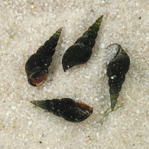 Black Trumpet Snail