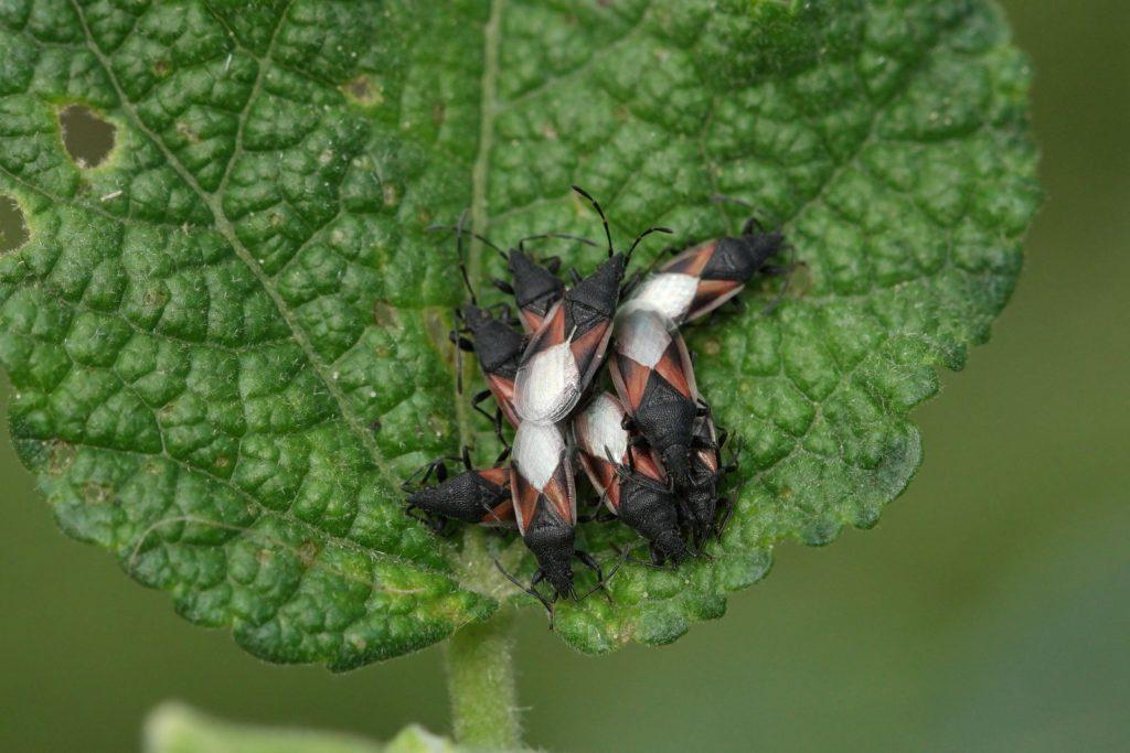 Lime Seed Bug