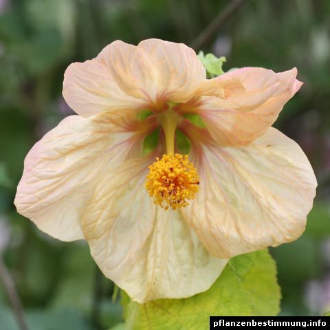 abutilon copper apricot
