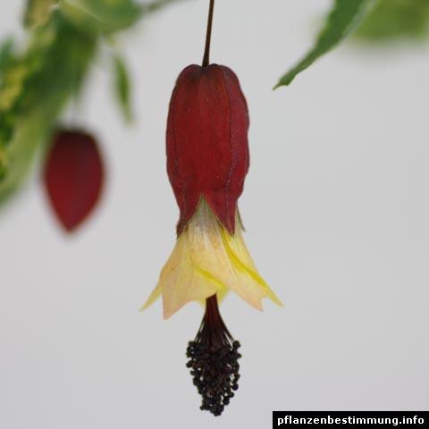 Plant identification red and pink flowers abutilon megapotamicum mightylinksfo