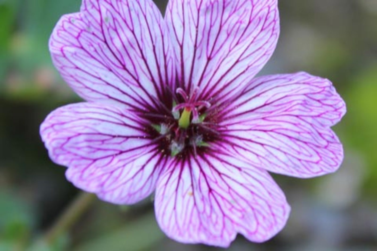 geranium cinereum