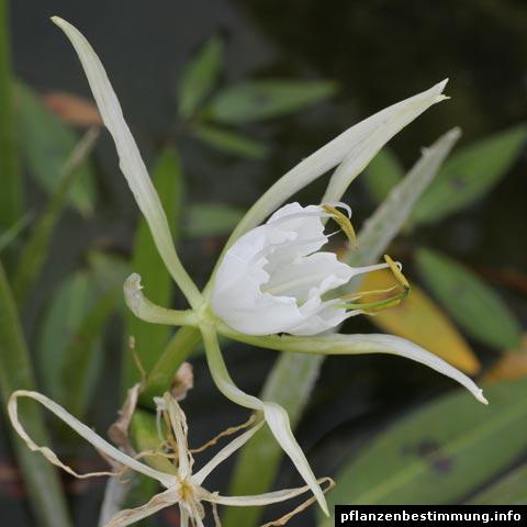 hymenocallis latifolia