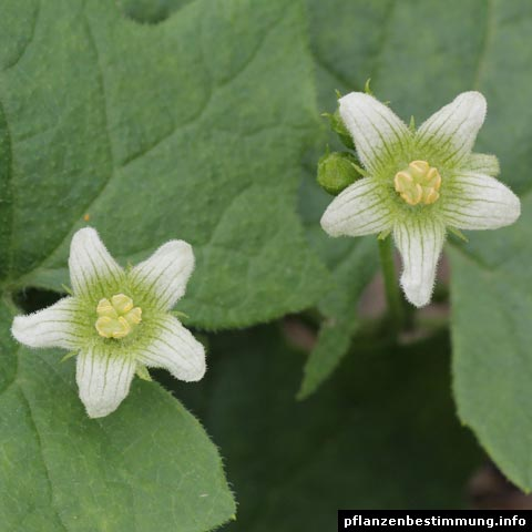 bryonia dioica