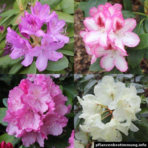 rhododendron-hybriden