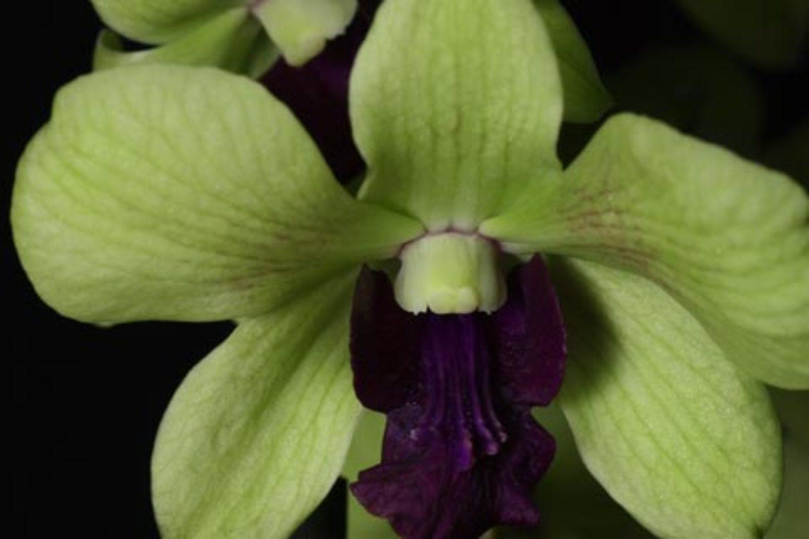 Dendrobium Emma Anna
