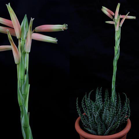 Aloe Blüte