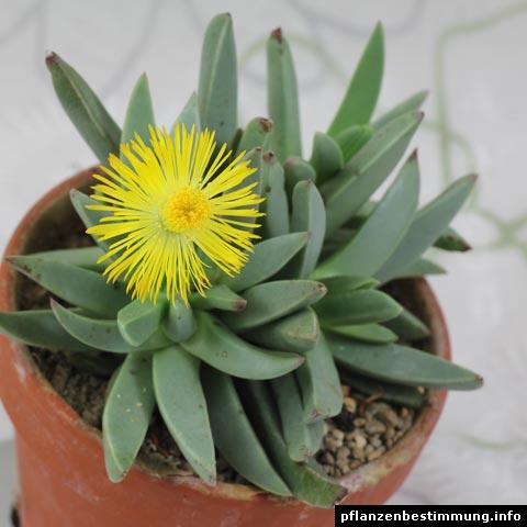 Machairophyllum bijliae