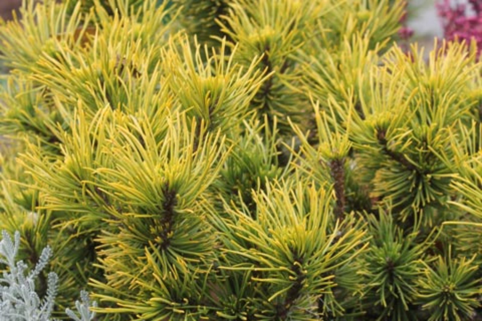 Pinus mugo Carstens Wintergold