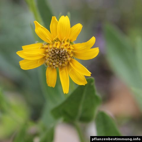 Plant identification yellow and orange flowers arnica chamissonis mightylinksfo