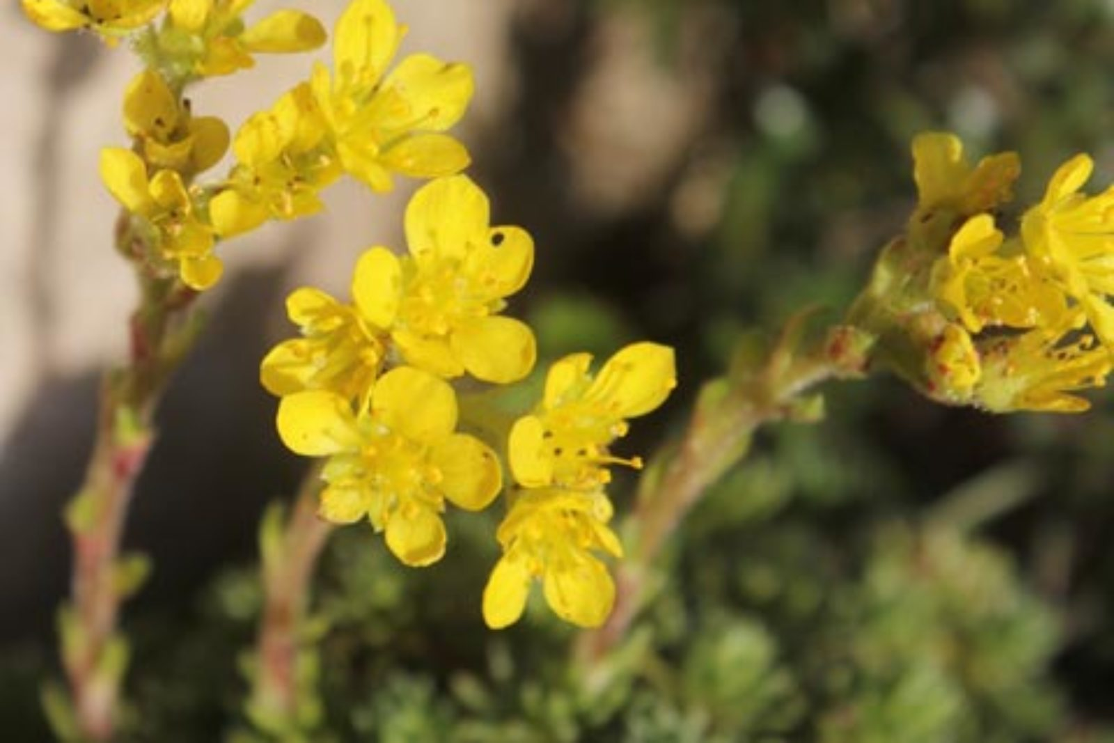 Saxifraga × apiculata