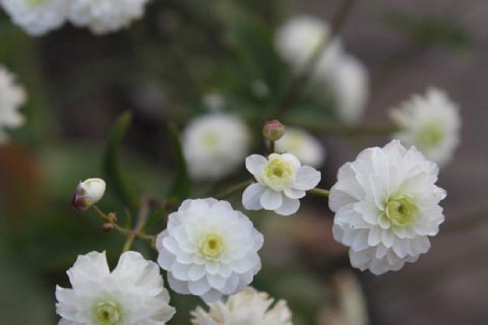 Ranunculus aconitifolius Pleniflorus