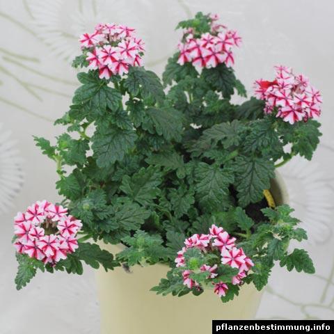 Florist Verbena