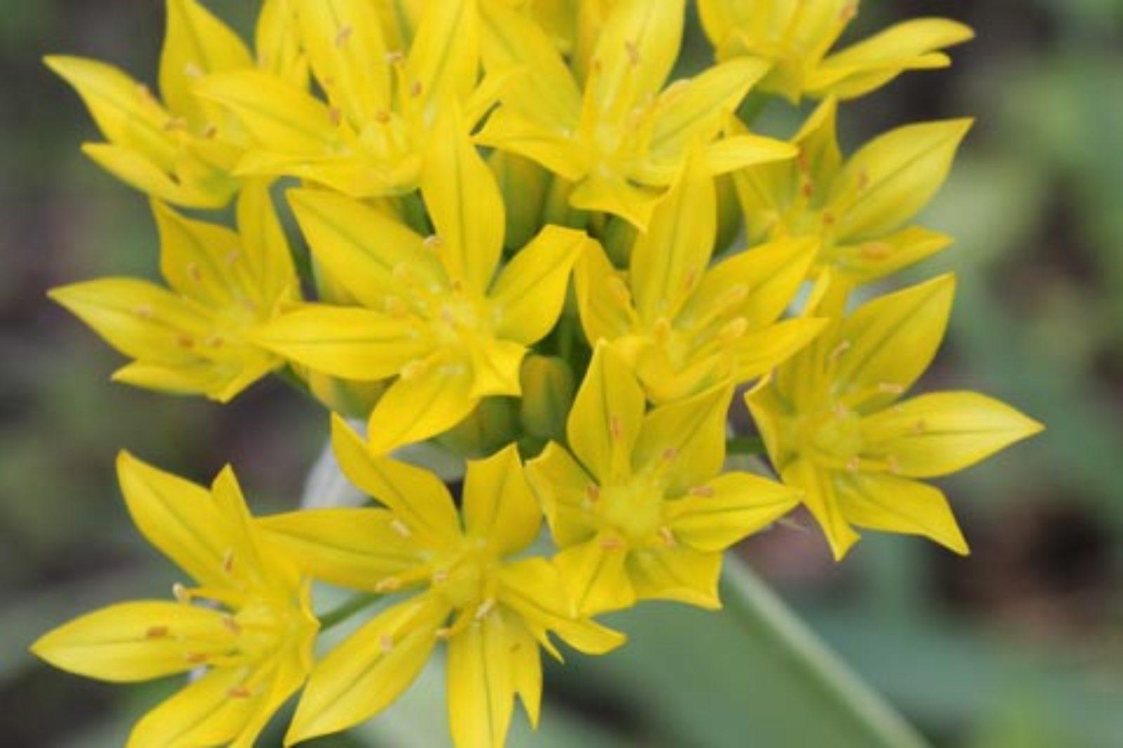 Allium moly