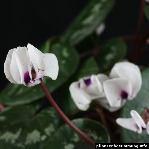 Cyclamen coum Album
