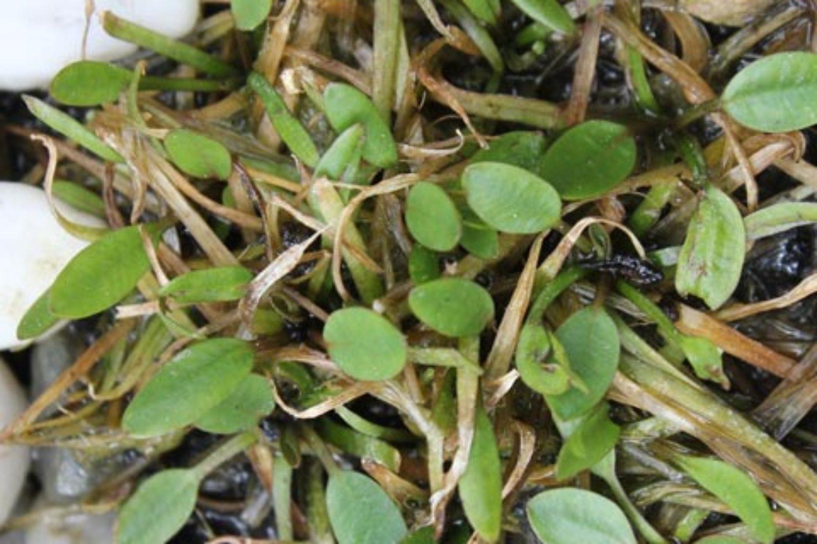 Luronium natans