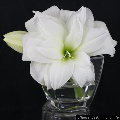 Hippeastrum Kolobri white