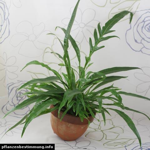 Aglaomorpha Snake Leaf