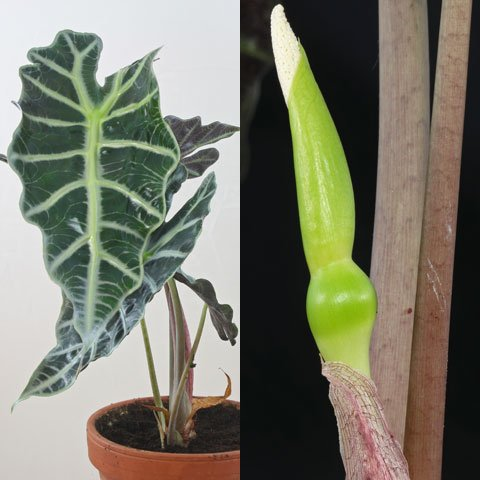 Indoor And Tropical Plants Identification