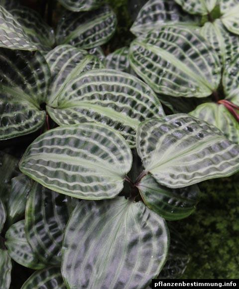 Seersucker Plant