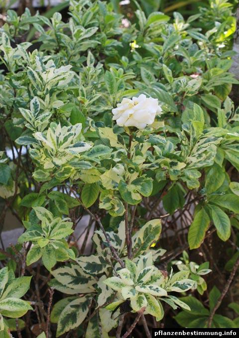 "Gardenia jasminoides ""Variegata""Gardenia Jasminoides Variegata"