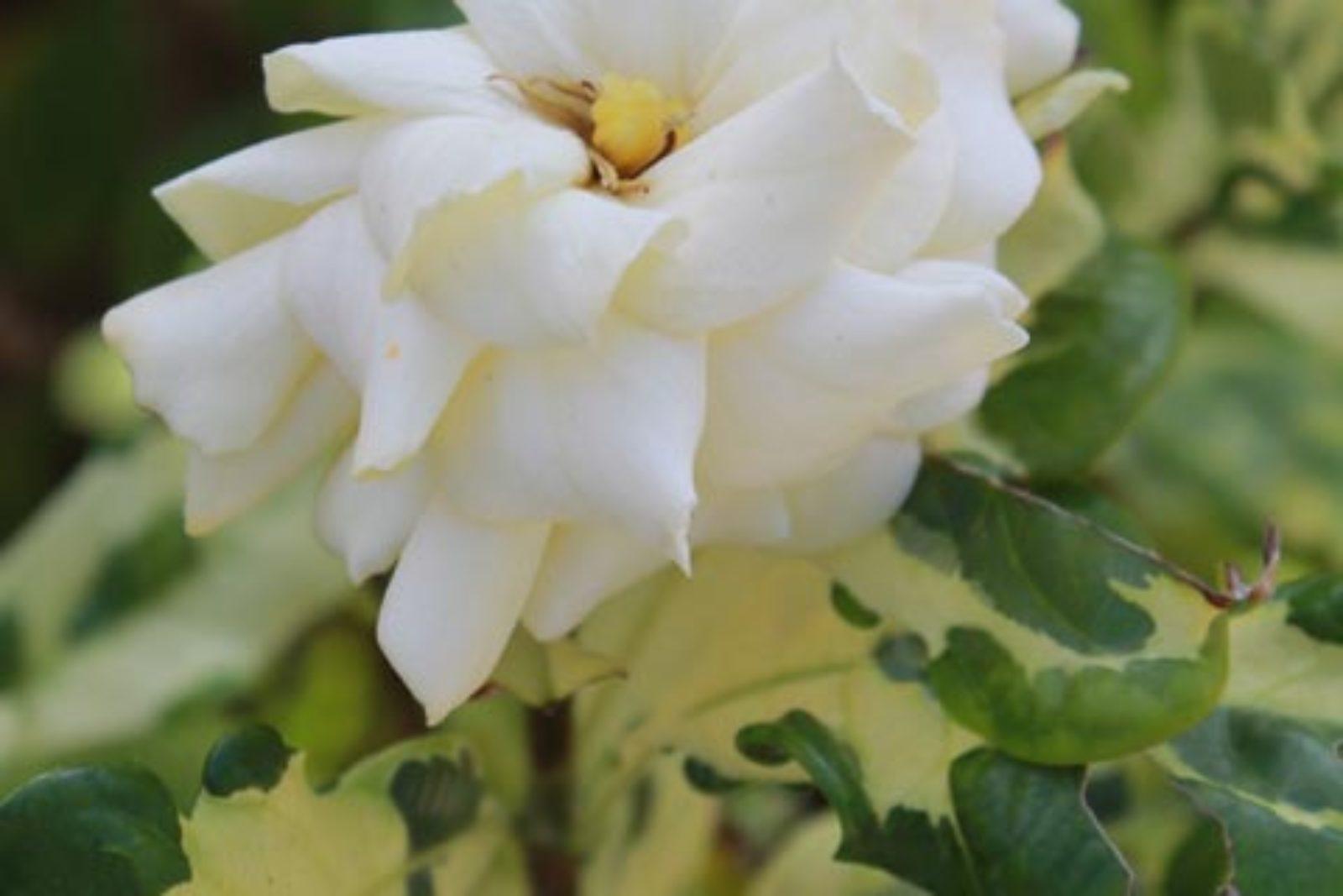 Gardenia jasminoides Variegata