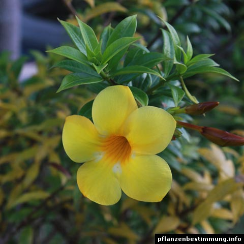 Plant identification yellow and orange flowers allamanda cathartica mightylinksfo
