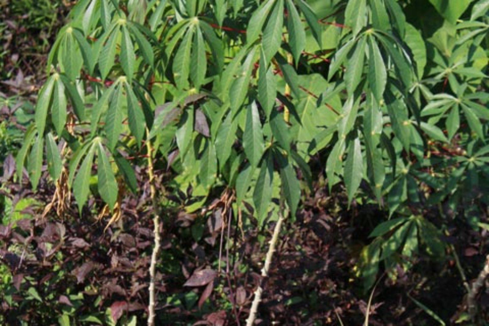 Manihot esculenta