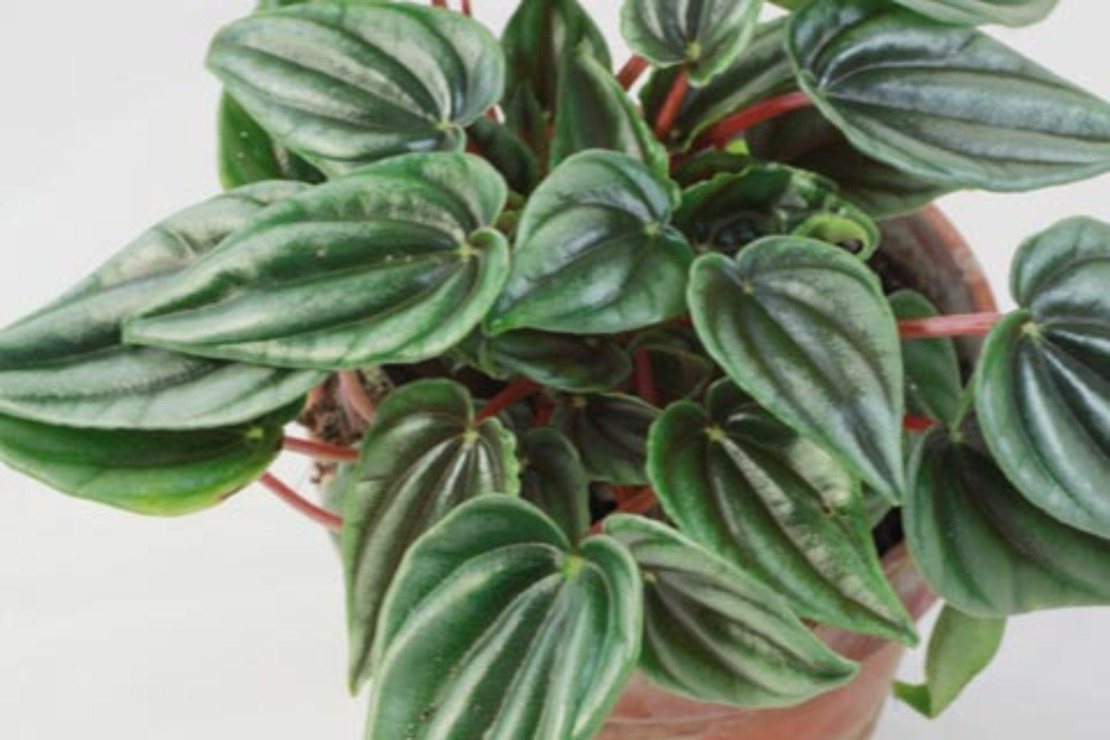 Peperomia marmorata
