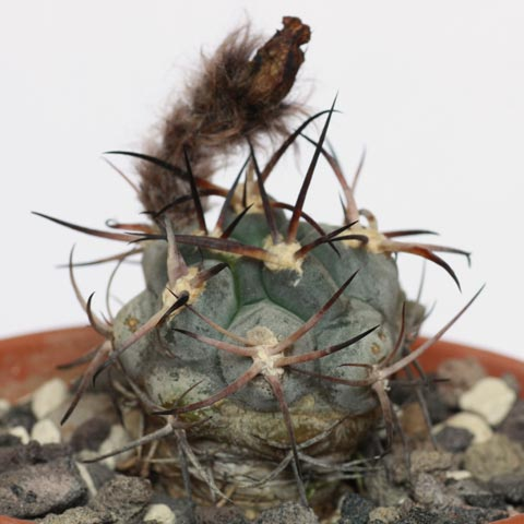 acanthocalycium glaucum - House Plant Identification Guide By Picture