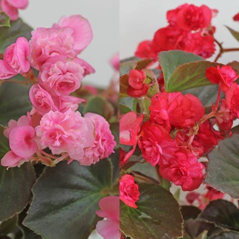 Begonia Doublet