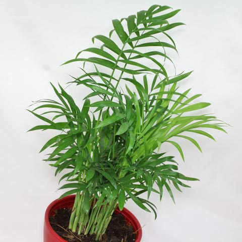 chamaedorea elegans - House Plant Identification By Leaf