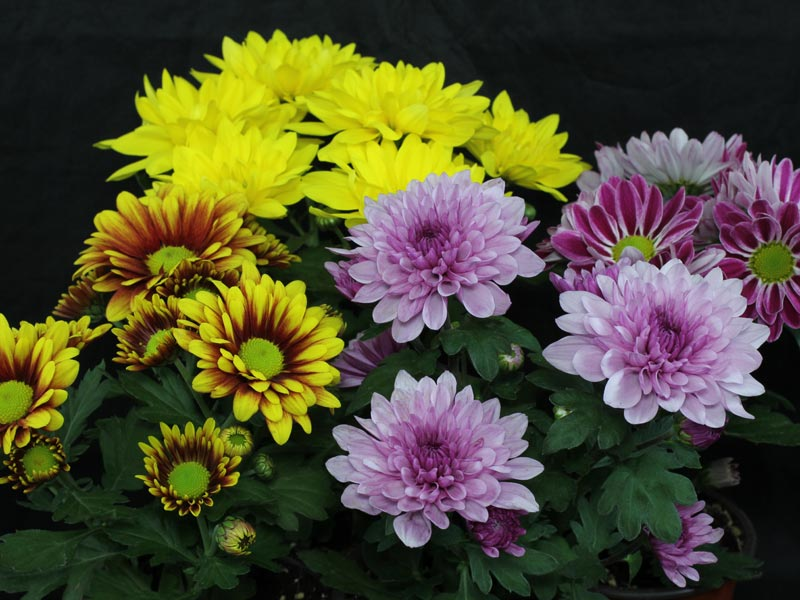 how to take care of chrysanthemum indoors
