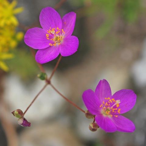 Phemeranthus calycinus