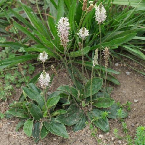 Hoary Plantain