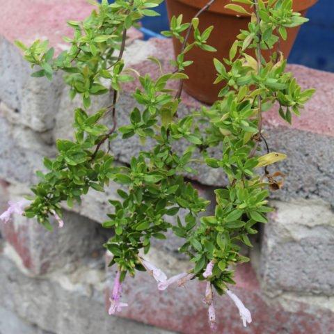 Poliomintha longiflora