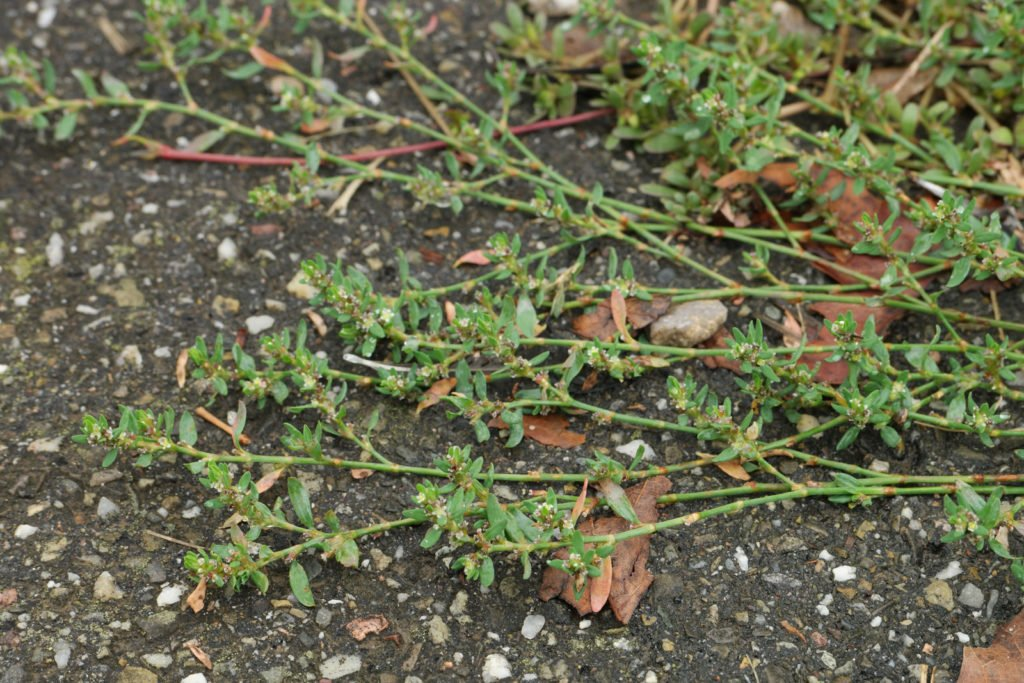 Common Knotgrass