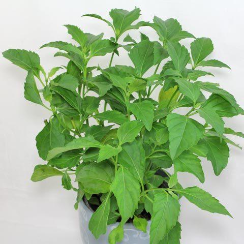 Ocimum carnosum