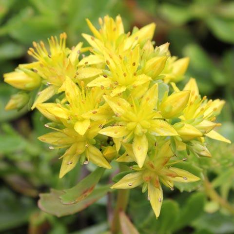 Sedum hybridum