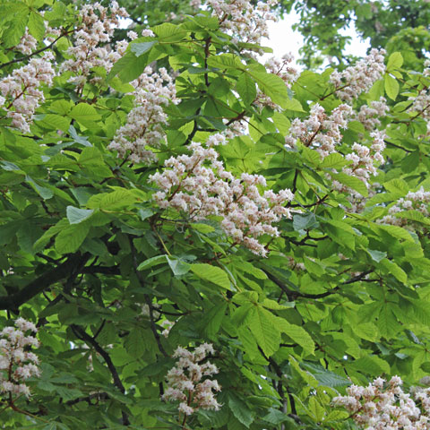 Plant identification white flowers aesculus hippocastanum mightylinksfo