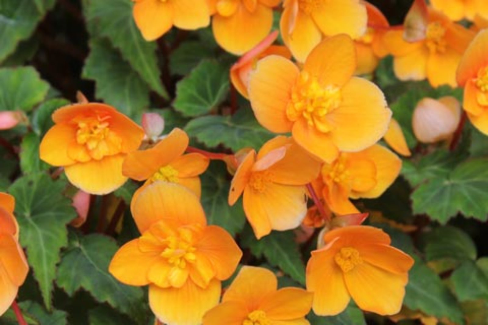 Begonia Richard Galle