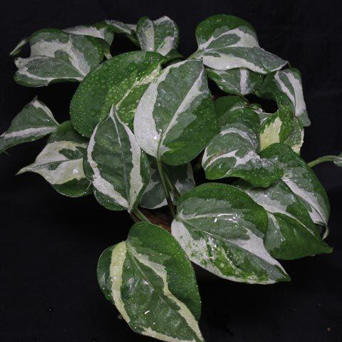 Epipremnum pinnatum NJoy