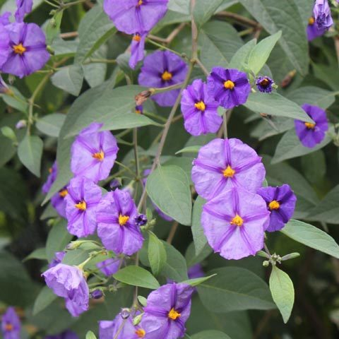 Lycianthes rantonnetii