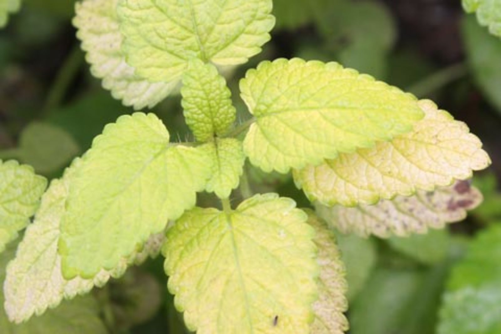 Yellow Lemon Balm
