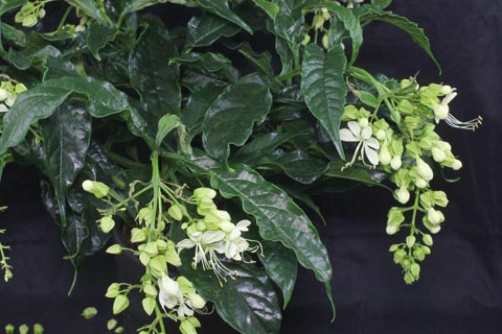 Clerodendrum wallichii