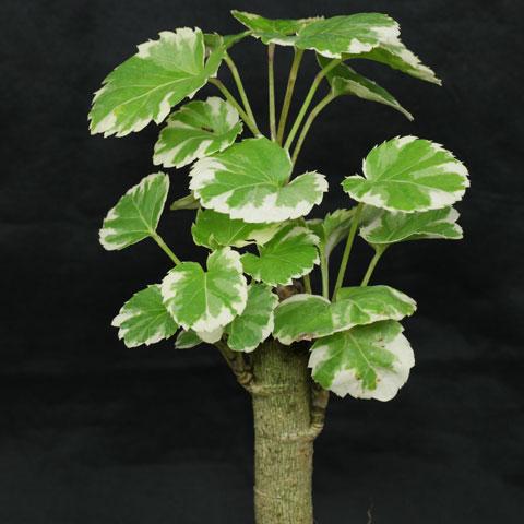 Schefflera arboricola gerda - Schefflera variegata ...