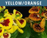 Yellow-Orange