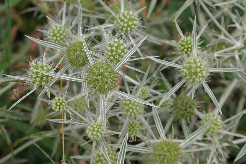 Field Eryngo