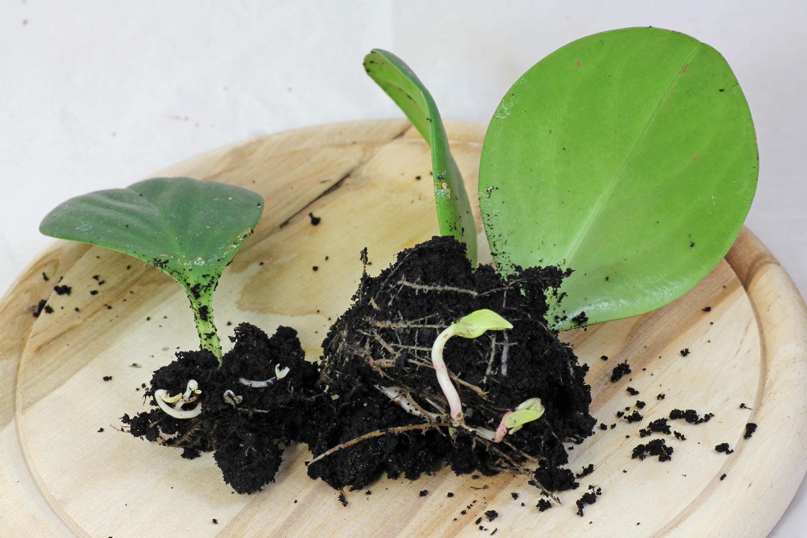 Peperomia cuttings