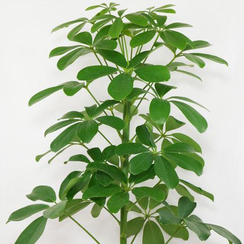 Schefflera Arboricola U201cNorau201d