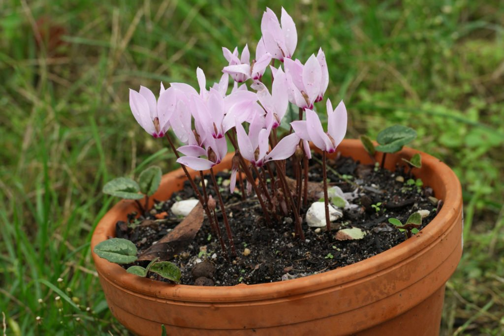 Turkish Cyclamen
